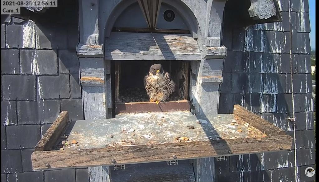 Les faucons pèlerins d'Illkirch-Graffenstaden. Lucky en Valentine. - Pagina 11 Illkir60