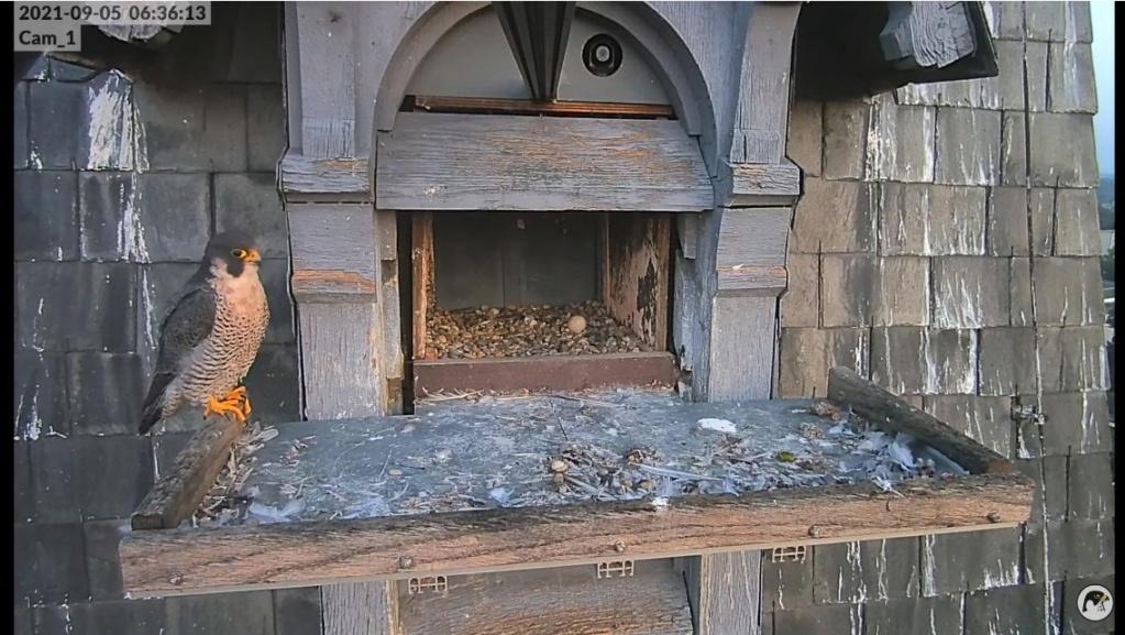 Les faucons pèlerins d'Illkirch-Graffenstaden. Lucky en Valentine. - Pagina 12 Illkir63