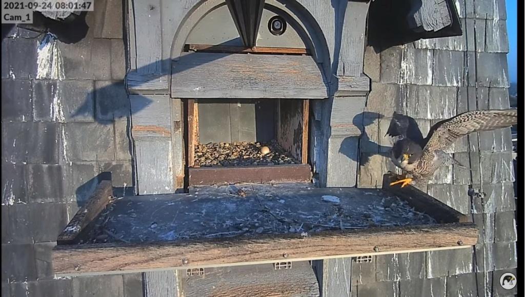 Les faucons pèlerins d'Illkirch-Graffenstaden. Lucky en Valentine. - Pagina 12 Illkir66