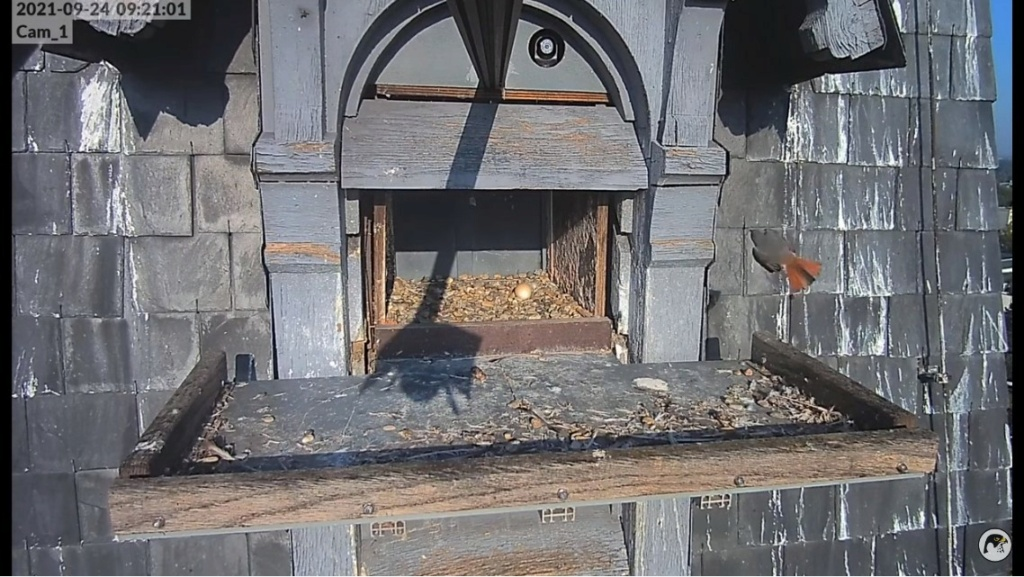 Les faucons pèlerins d'Illkirch-Graffenstaden. Lucky en Valentine. - Pagina 12 Illkir67