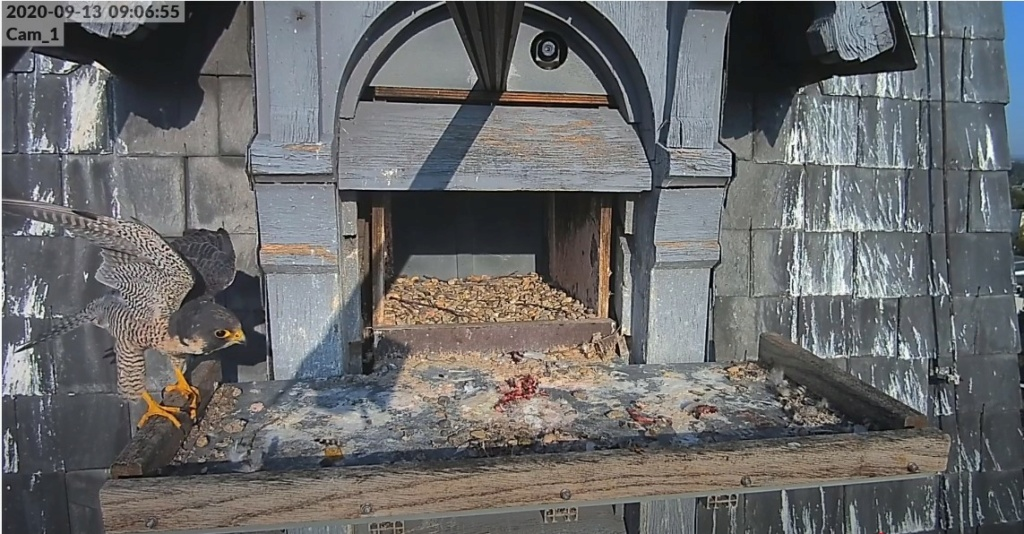 Les faucons pèlerins d'Illkirch-Graffenstaden. Lucky en Valentine. - Pagina 2 Lucky_10