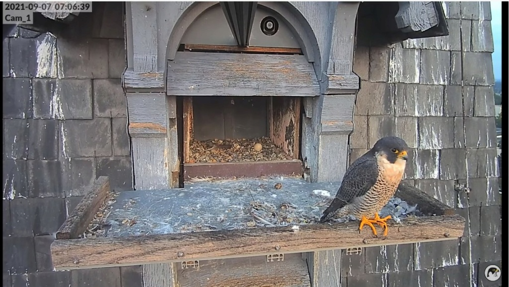 Les faucons pèlerins d'Illkirch-Graffenstaden. Lucky en Valentine. - Pagina 12 Lucky_17
