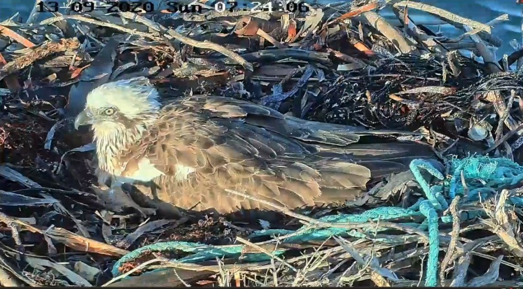 Port_Lincoln Osprey Live Stream 2020/2021 Osprey10