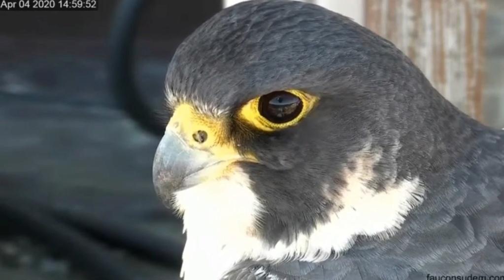 UdeM. Falcons. Eve (ongeringd) ~ Eole (bl E/83 ).New Male 6. april - Pagina 3 Udem_010