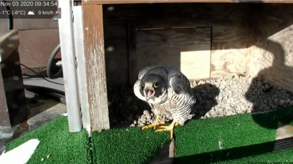 UdeM. Falcons. Eve (ongeringd) ~ Eole (bl E/83 ).New Male Sphinx (ongeringd)  6. april - Pagina 5 Udem_011