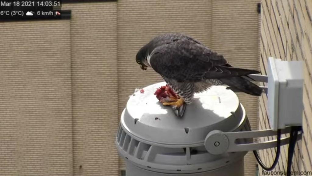 UdeM. Falcons. Eve (ongeringd) ~  Sphinx (ongeringd) Udem_110