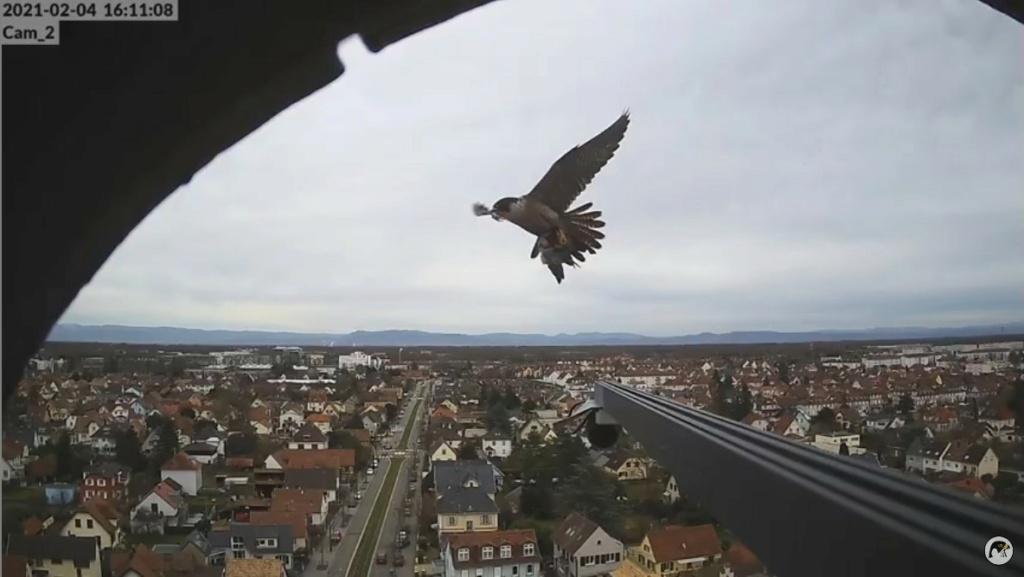 Les faucons pèlerins d'Illkirch-Graffenstaden. Lucky en Valentine. - Pagina 2 Valent10