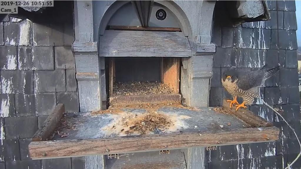 Les faucons pèlerins d'Illkirch-Graffenstaden. Flashblack en Valentine. - Pagina 2 Valk_d17