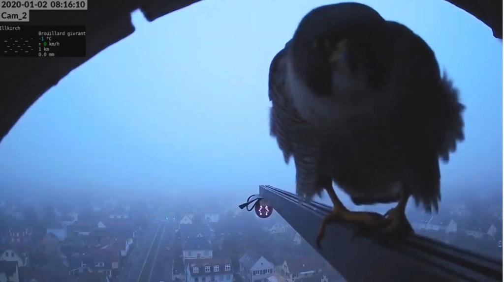 Les faucons pèlerins d'Illkirch-Graffenstaden. Flashblack en Valentine. - Pagina 3 Valk_i12
