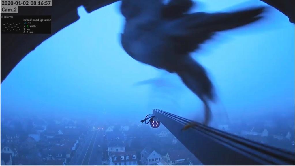 Les faucons pèlerins d'Illkirch-Graffenstaden. Flashblack en Valentine. - Pagina 3 Valk_i13