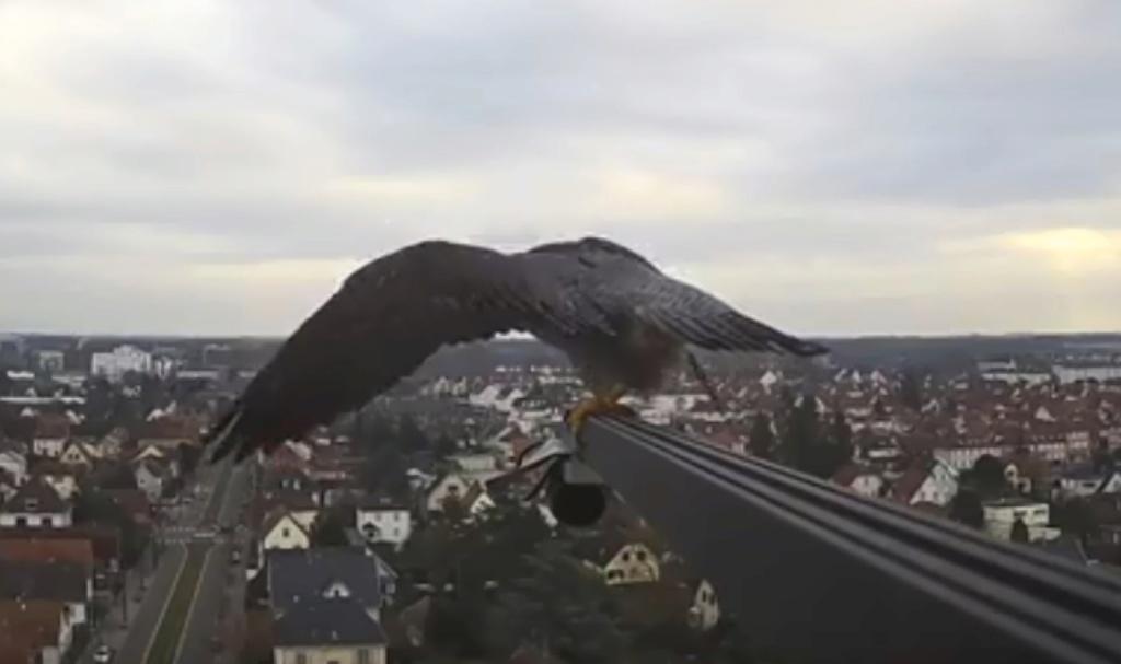 Les faucons pèlerins d'Illkirch-Graffenstaden. Flashblack en Valentine. - Pagina 4 Valk_i26
