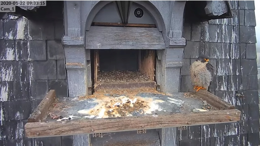 Les faucons pèlerins d'Illkirch-Graffenstaden. Flashblack en Valentine. - Pagina 4 Valk_i28