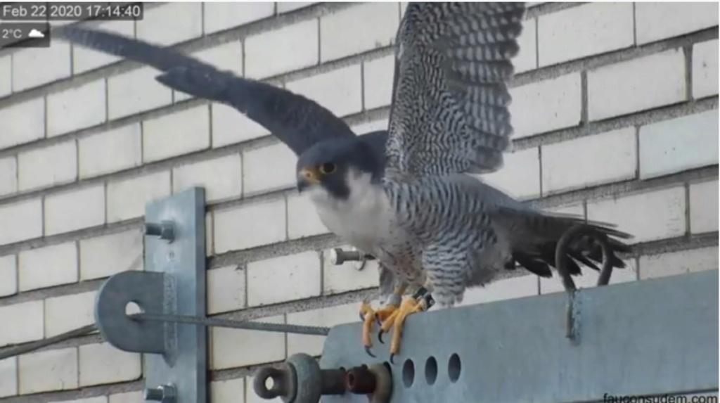 UdeM. Falcons. Eve (ongeringd) ~ Eole (bl E/83 ).New Male 6. april - Pagina 2 Valk_u28