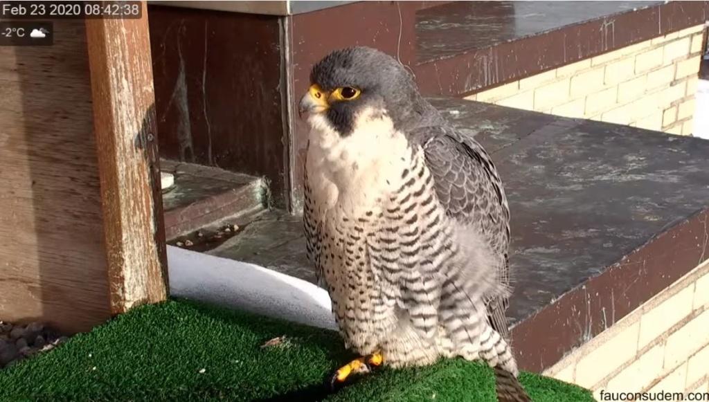 UdeM. Falcons. Eve (ongeringd) ~ Eole (bl E/83 ).New Male 6. april - Pagina 2 Valk_u29