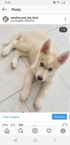 Husky puppy coat 20190821