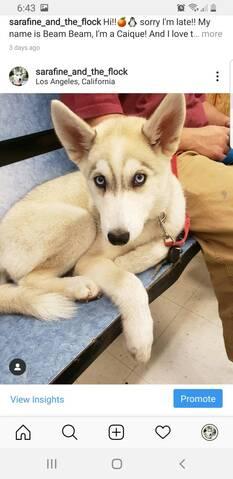 Husky puppy coat 20190822