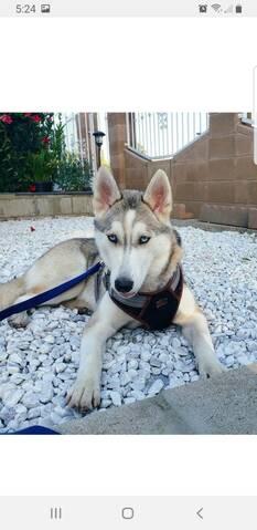 Husky puppy coat 20190823