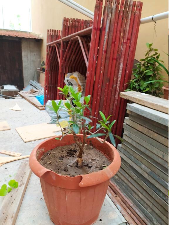 Bonsai di ficus robusta è possibile ? Img_2011
