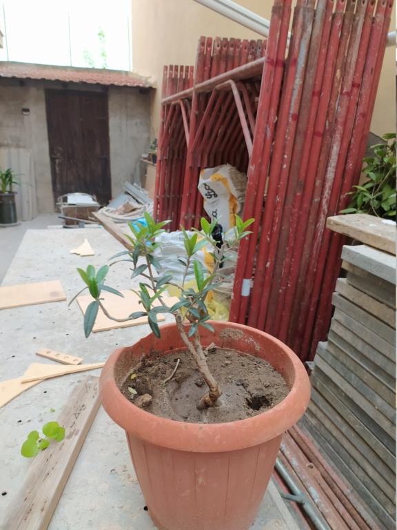 Bonsai di ficus robusta è possibile ? Img_2012