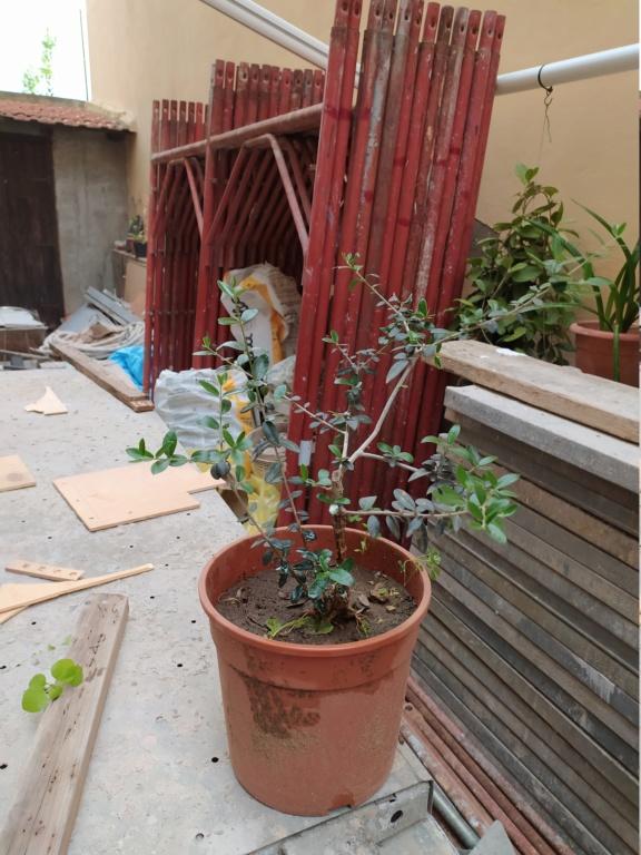 Bonsai di ficus robusta è possibile ? Img_2013