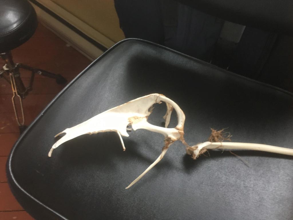 Crâne pour identification  Crane210