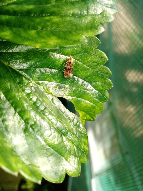 Microlepidoptères indéterminés 110