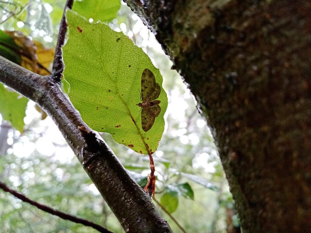 Eupithecia indéterminé 2510
