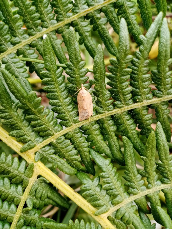 Microlepidoptères indéterminés 310
