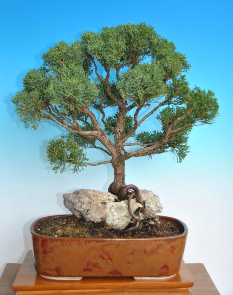 Remodelación Juniperus Chinensis sobre Piedra  112