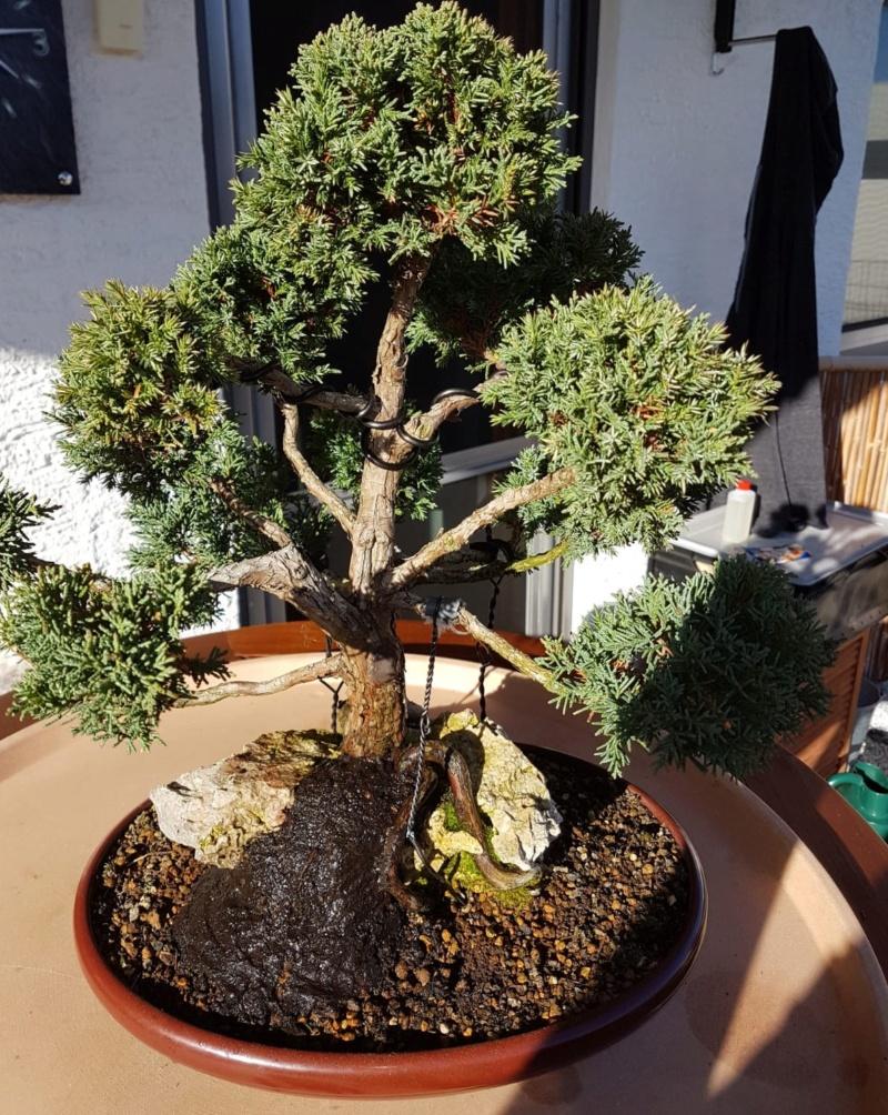 Remodelación Juniperus Chinensis sobre Piedra  213