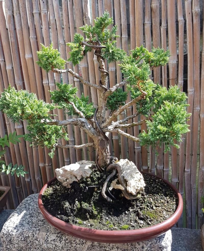 Remodelación Juniperus Chinensis sobre Piedra  312