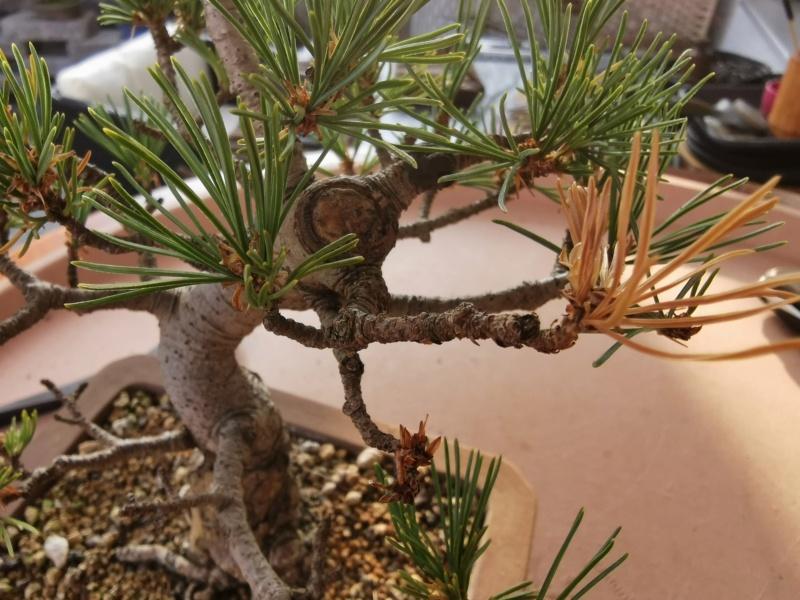 Pinus Pentaphylla debil con colores apagados A10