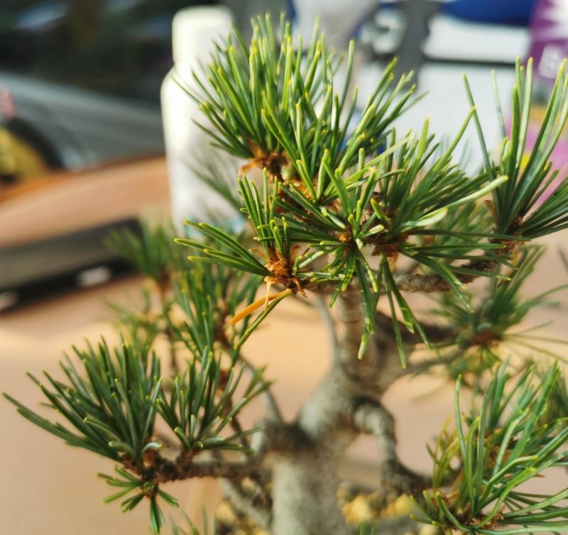 Pinus Pentaphylla debil con colores apagados B110