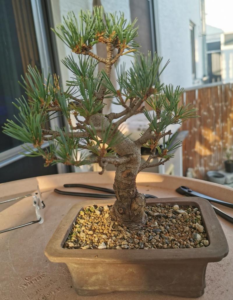 Pinus Pentaphylla debil con colores apagados C10
