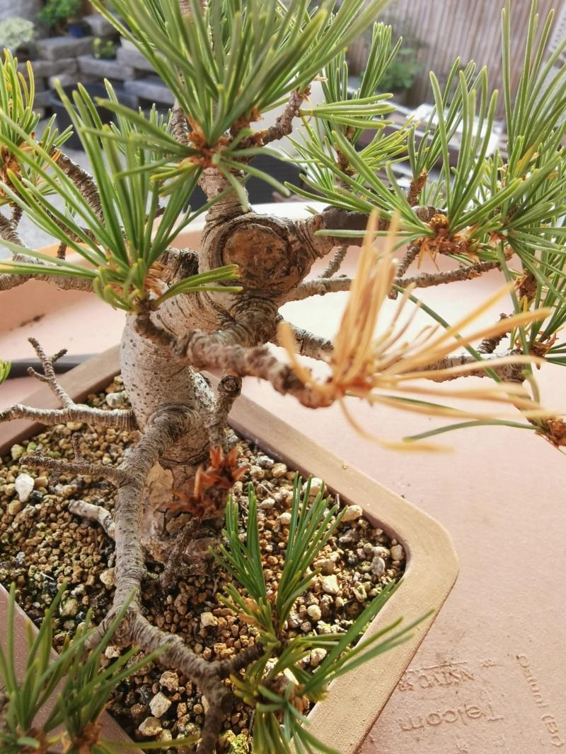Pinus Pentaphylla debil con colores apagados D10
