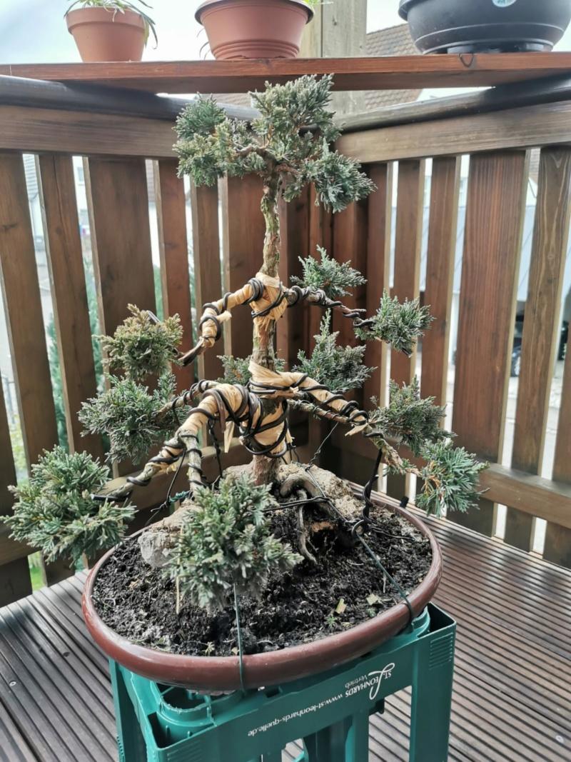 Remodelación Juniperus Chinensis sobre Piedra  Junipe10