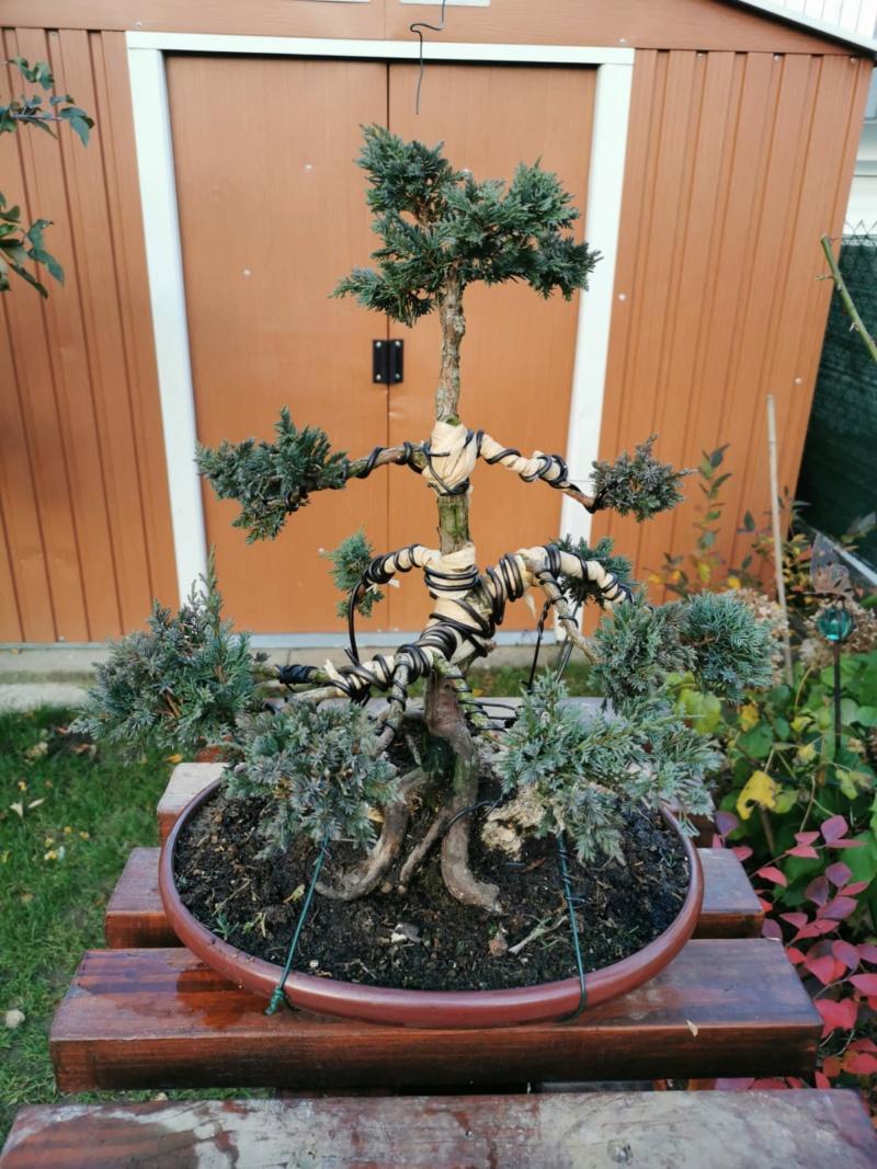 Remodelación Juniperus Chinensis sobre Piedra  Junipe11