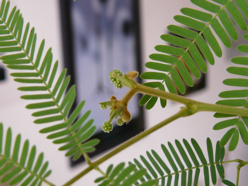 Calliandra portoricensis (Versoix) P1030513