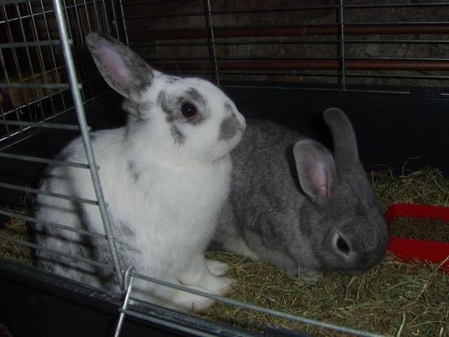 2 lapins - nés le 10 janvier 09 - à adopter ensembles ou séparés Sv100918