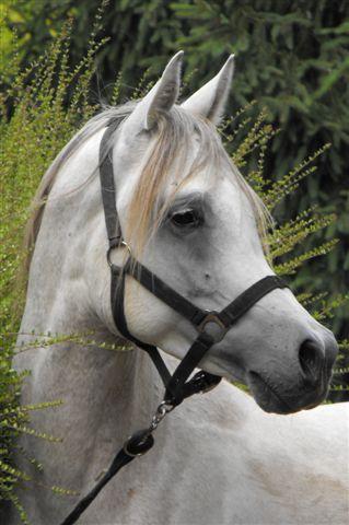 Joel, cavalier et éleveur de PS ARABE  au Grand-Lemps - Page 4 Majid11