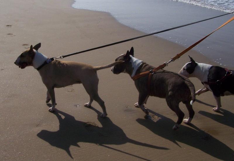 les bulls  àla mer Plag1910