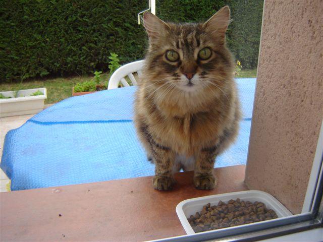 Trouvé à Colomiers, chat tigré poils longs- Juin 2009 19_06_10