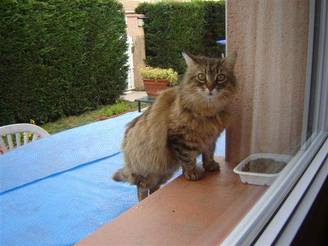 Trouvé à Colomiers, chat tigré poils longs- Juin 2009 19_06_11