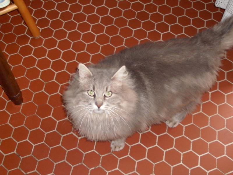 A adopter, magnifique chat mâle gris angora Chat_c10