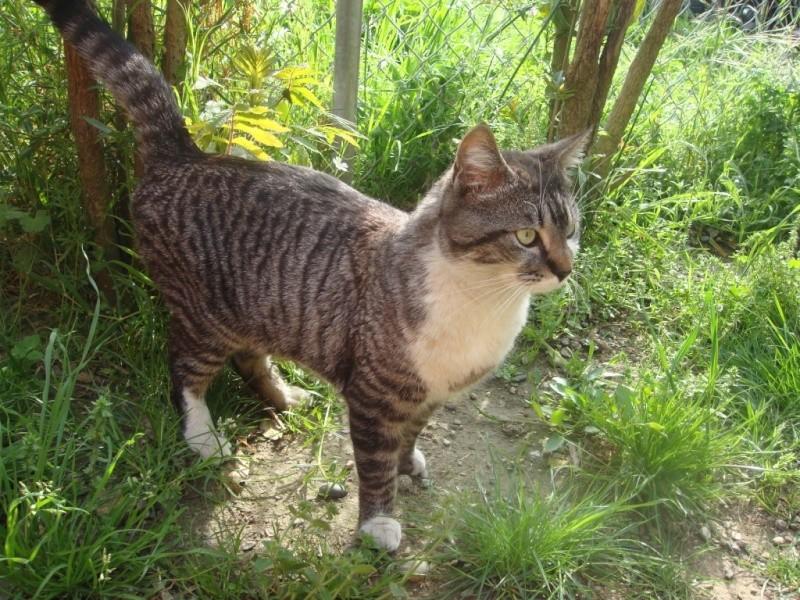 Trouvé à Colomiers, chat tigré et blanc- Mai 2009 Dsc01510
