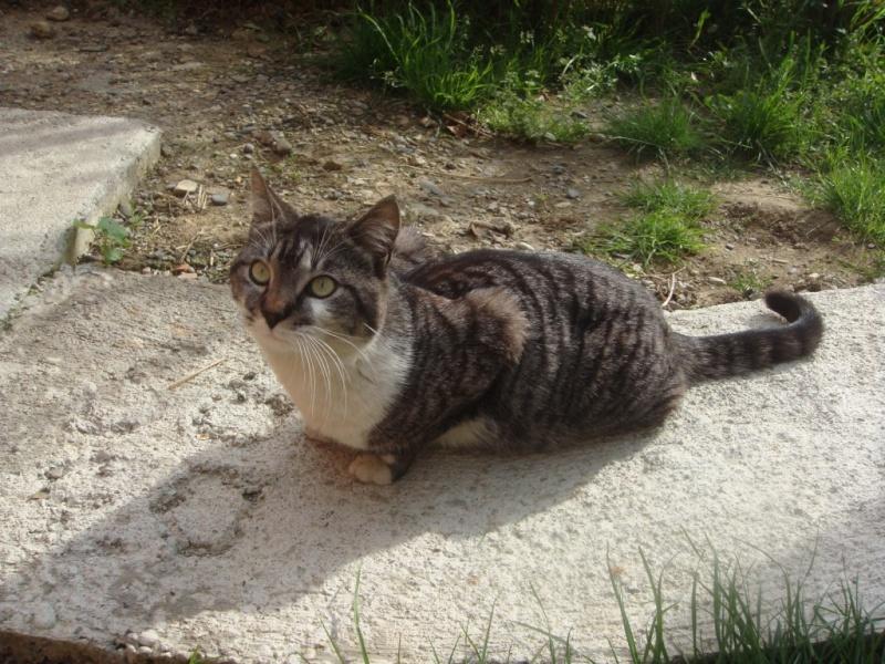 Trouvé à Colomiers, chat tigré et blanc- Mai 2009 Dsc01511