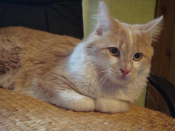 COLOMIERS -Trouvé chat roux clair-blanc poils longs Dsc01810