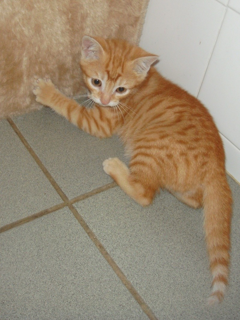 Trouvé chaton tigré roux- Colomiers, juin 2009 Dsc02215