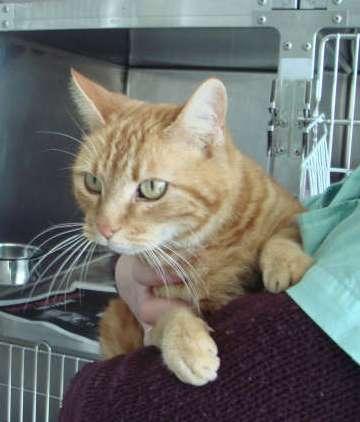 Trouvé à Colomiers, chat femelle tigré roux-mars 2009 Elvina10