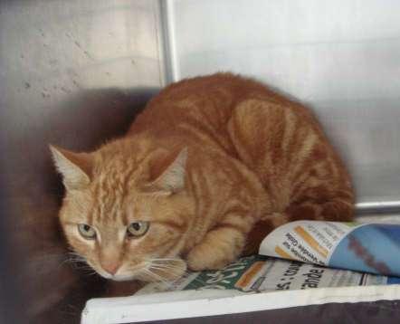 Trouvé à Colomiers, chat femelle tigré roux-mars 2009 Elvina11